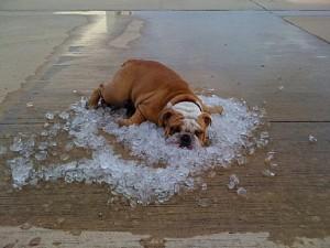 dicas para o cachorro não sofrer no calor