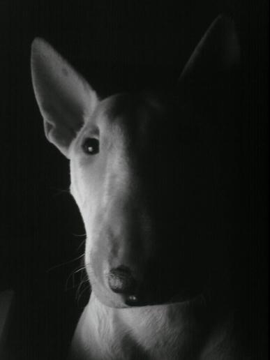 bull-terrier filhote colt